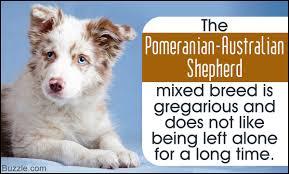 pomeranian mini australian shepherd mix. Interesting Australian And Pomeranian Mini Australian Shepherd Mix