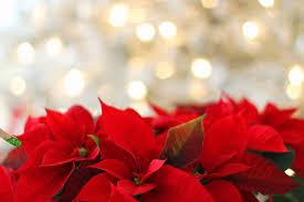 Weihnachtsstern Im Pflanzkübel Gartenpflege Tipps Ideen