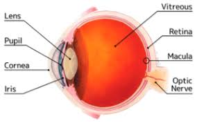 diagram of the eye showing the parts like the lens the p the cornea