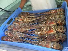 Honduras Frozen Lobster Tail supplier