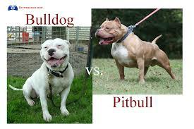 pitbull dog vs bulldog. Simple Dog American Bulldog Vs Pitbull Difference  Google Search In Pitbull Dog Vs Bulldog M