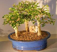 chinese elm bonsai tree aged three 3 tree forest group scene ulmus parvifolia chinese elm bonsai tree
