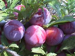 Kahikatea Fruits  Collection Fruits  Pinterest  Searches And FruitPurple Plum Tree Fruit