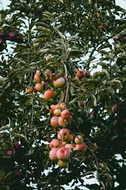 fruit trees wallpapers. Exellent Trees Apple Tree To Fruit Trees Wallpapers R