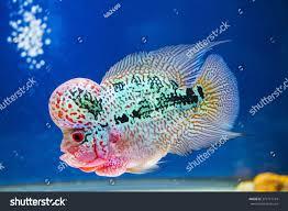 Aquarium Design For Flowerhorn Flowerhorn Fish Aquarium Fish Flower Horn Stock Photo Edit