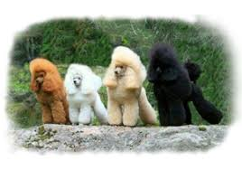 we do not produce parti poodles as they are outside of the official akc standard for toy poodles and a disqualifying trait in the show rings