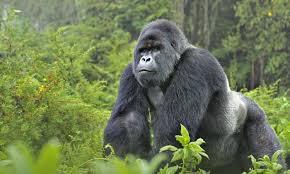 Resultado de imagem para foto de gorila