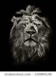 lion wallpaper black and white. Delighful White Graphic Black And White Lion Portrait On And Lion Wallpaper Black White S