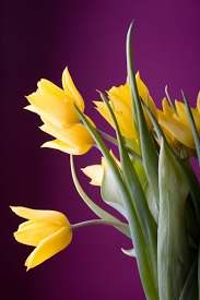 yellow tulips hd picture free stock