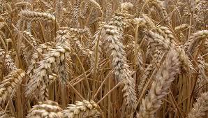Российское зерно: количественные рекорды переходят в качественные
