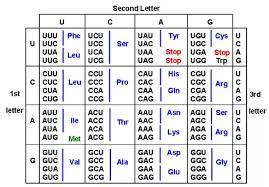 Amino Acid Translation Chart 38 Organized Amino Acid Chart Letters