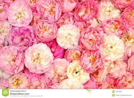 background from lots of pink garden roses