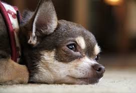 Canine Lymphoma Symptoms Signs Of Lymphoma In Dogs