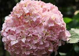 繡球花花語的圖片搜尋結果