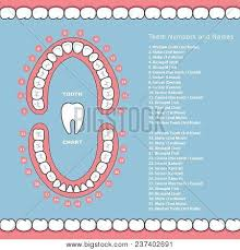 Jaw Chart Tooth Chart Names Vector Photo Free Trial Bigstock
