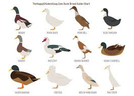 the ultimate duck breed guide