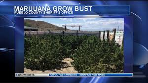 outdoor illegal grow busted in eastern pueblo county