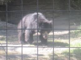 file grizzly bear at lee richardson zoo garden city ks img 5926 jpg