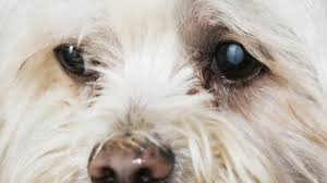 cataract and other eye problems maltese dog with cataracts