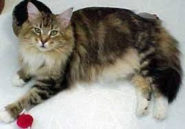 What To Expect When Maine Coon Kittens Grow Up Kittentoob