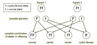 Cystic Fibrosis Inheritance Pattern Inspiration BBC GCSE Bitesize Cystic Fibrosis