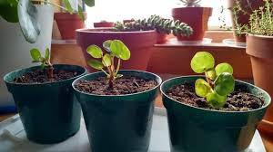 propagating chinese money plant how