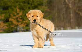 golden retriever puppies playing in snow. Simple Snow Golden Retriever Canis Familiaris Puppy Playing With Stick In Snow   Stock Photo For Puppies Playing In Snow