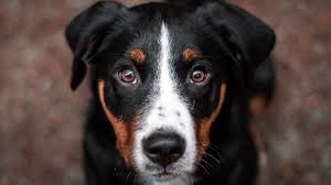 dogs can sniff out cancerous blood cells with 97 percent accuracy reveals study