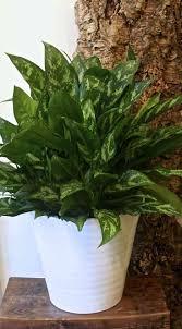 silver queen chinese evergreen plant gardenista