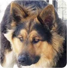 german shepherd tibetan mastiff mix. Beautiful Tibetan For German Shepherd Tibetan Mastiff Mix AdoptaPetcom
