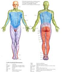 Dermatomes Radiculopathy Spinal Nerve Occupational Therapy