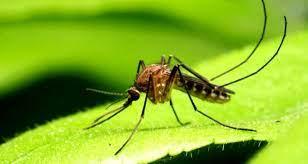 Asya kaplan sivrisineği ısırığının zararları nelerdir, ısırığına ne iyi  gelir? Asya kaplan sivrisineği nerelerde görülür? - Haberler