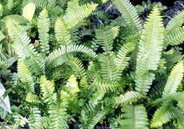 names of ferns. a native fern for everyone names of ferns