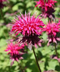 Garden Centre Kitchener Buy Bee Balm Beebalm In Kitchener Waterloogreenway Blooming Centre
