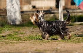Yorkshire Terrier Dog In Training Class ...