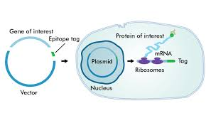 Epitope Tags: Novus Biologicals