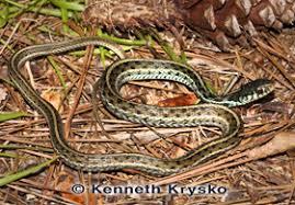 Snake Identification Chart Snake Identification Common Garter Florida Museum Of