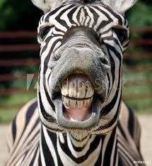 Wall Murals Zebra Smile And Teeth Nikkel Art