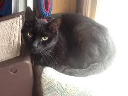 hyperthyroid cat gain weight