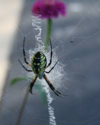 the zigzagging line in a yellow garden spider s web is called a stabilimentum