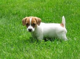 Cute Jack Russell Terrier Puppy Terrier Breeds Chart