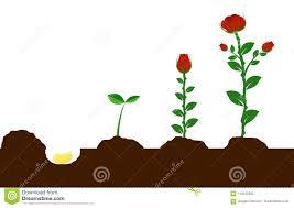 Fiore Crescente Dal Seme Alla Pianta Illustrazione Vettoriale -  Illustrazione di regalo, colore: 113542382