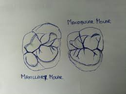 Maxillary Second Molar Differences Between Maxillary And Mandibular First And Second Molars