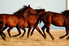 horses running in the wind. Contemporary Running Three Horses Running In Profile Front Of Wind Turbines Inside In The G