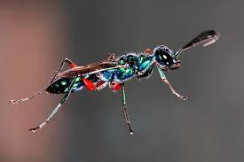 Emerald cockroach wasp - Wikipedia