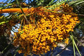 Yellow Palm Date Fruit On Palm Tree Large Bunch Edible Ripe Palm Tree Orange Fruit