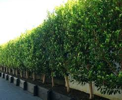 outdoor ficus tree images of small trees for along a fence line in introducing availability dropping
