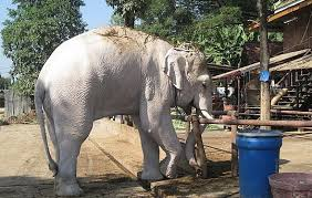 white elephant animal.  Animal In The Indonesian Archipelago A White Elephant Is Sacred Animal In  HinduBuddhist Kingdoms Era White Was Popularized By Culture Aceh  With Elephant Animal N