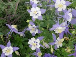 columbine swan blue white bicolored columbines grace landscapes in april with their stately flower stalks arising above the plant foliage