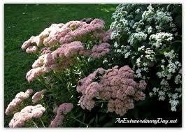 fall garden flowers. AnExtraordinaryDay | Autumn Joy Sedum \u0026 Chocolate Eupatorium Fall Garden Flowers